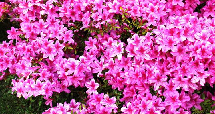 Azalea: kleurrijke voorjaarsbloeier