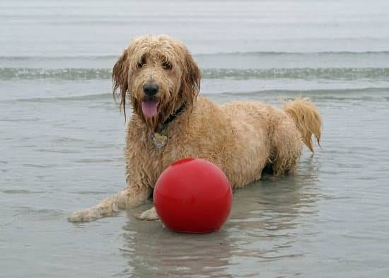 a brown dog in the ocean with a big red ball
