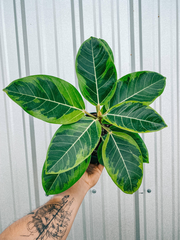 Ficus Altissima 'Golden Gem'