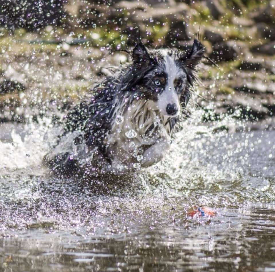 border collie dog splashing in water playing fetch