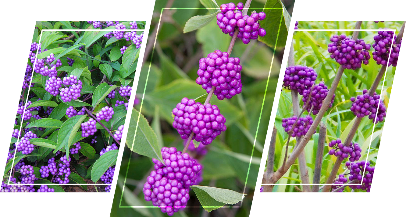 A bunch of Beauty Berry plants