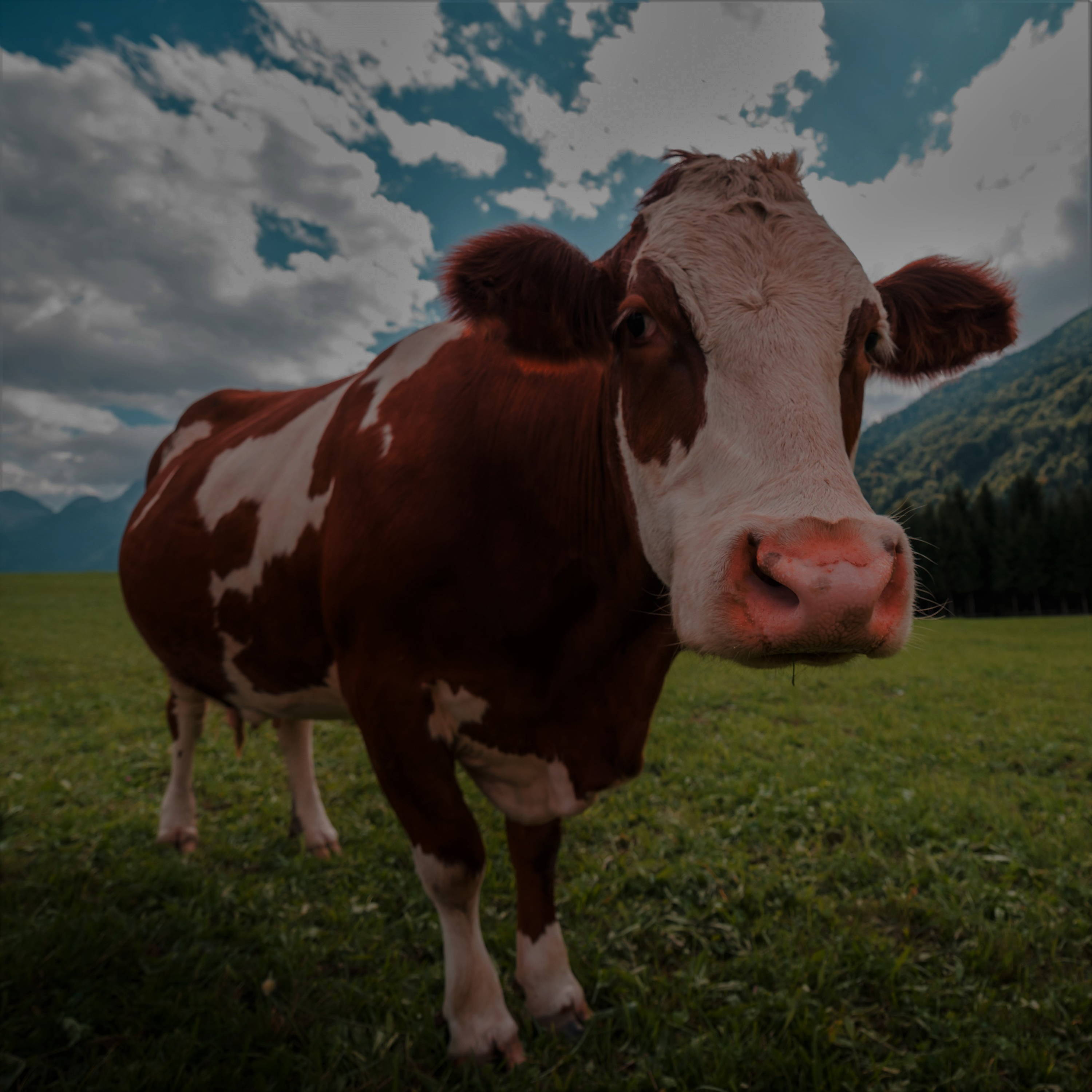 A brown and white dairy cow stood in a grassy field