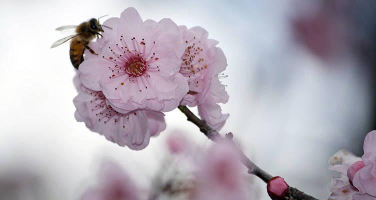 Taille du Cerisiers d'ornement