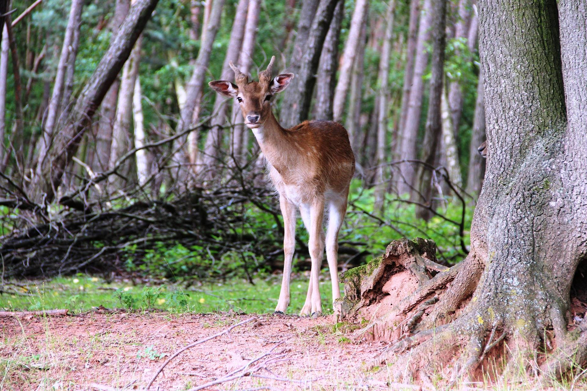 A roe dear in the woods