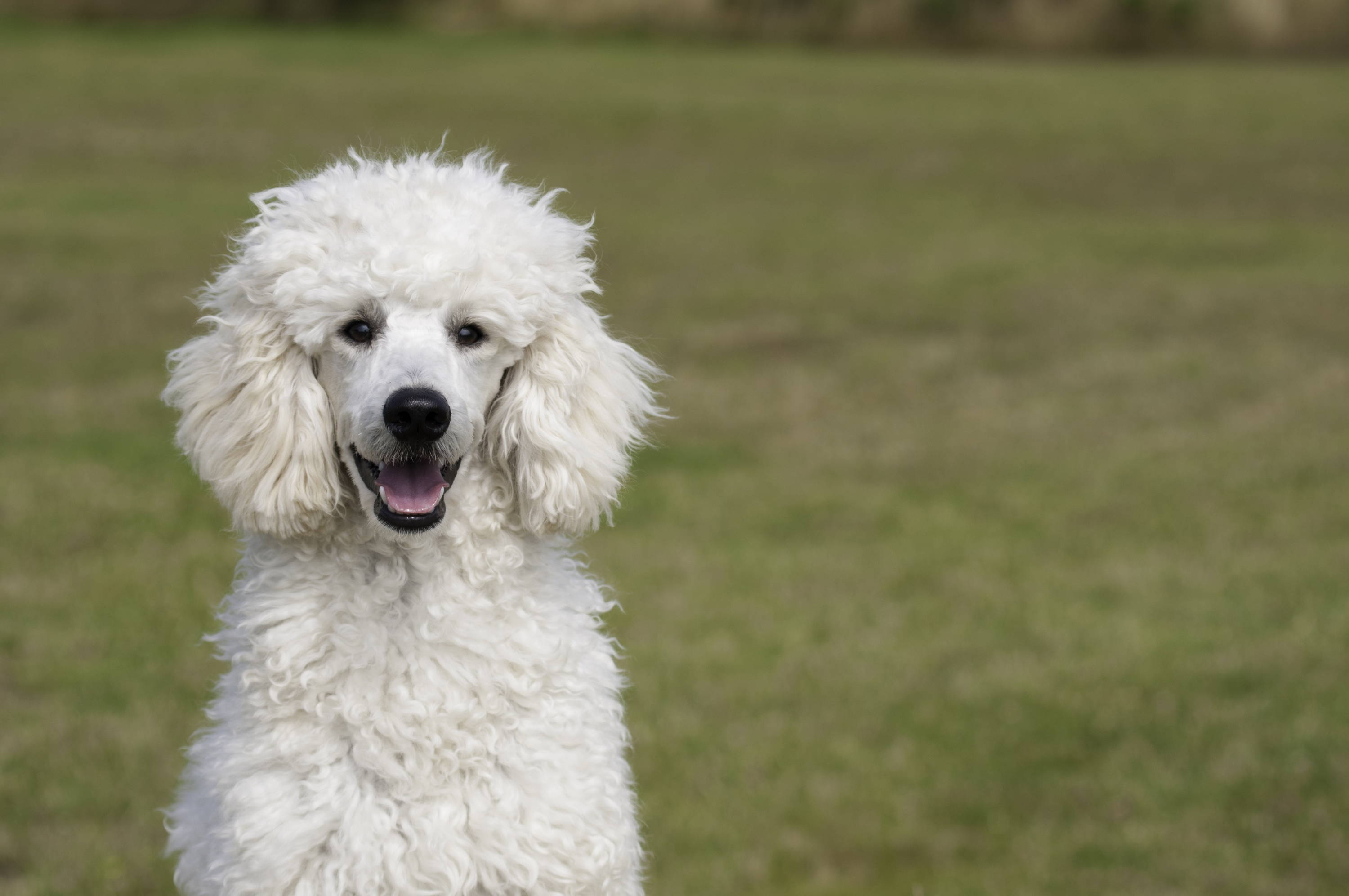 White poodle at park looking happy