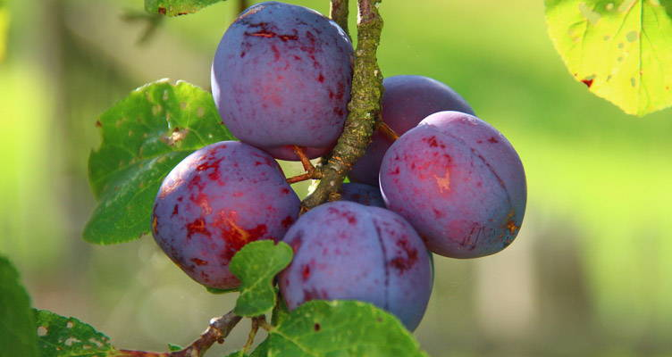 Top 10 fruit trees