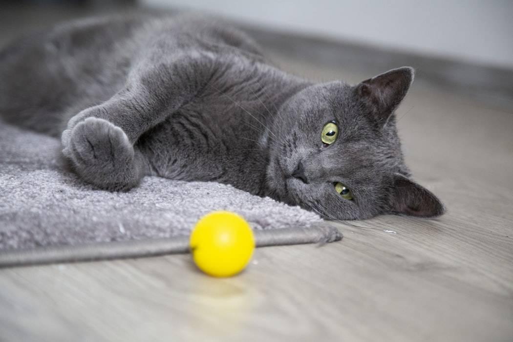 russian blue cats have emerald green eyes