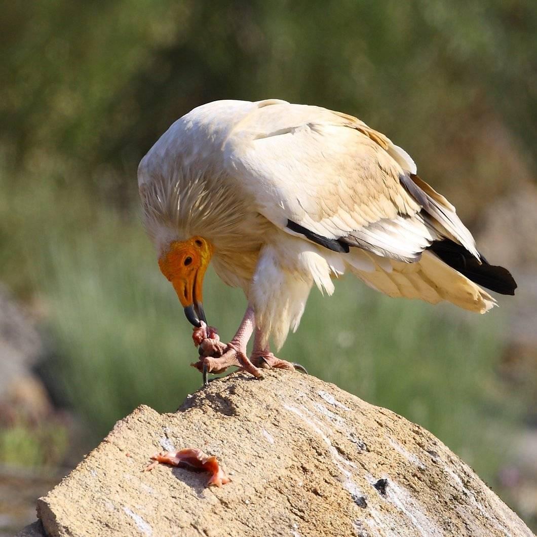 An Egyptian vulture feeding