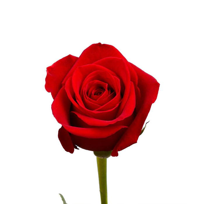 Red Rose - Stakes Day
