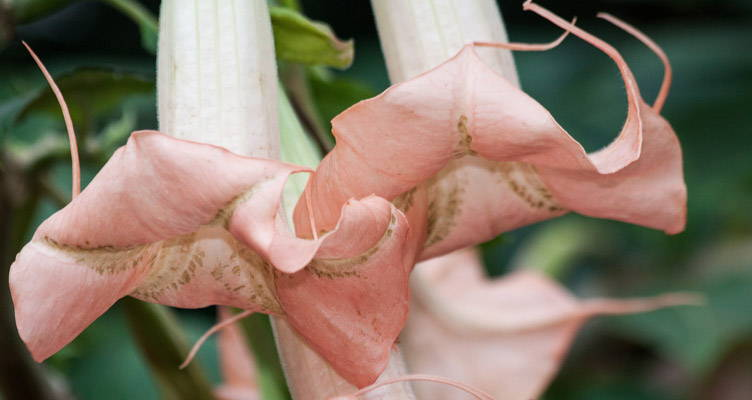 Engelentrompet: Hemels geurende bloemen