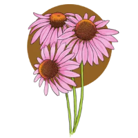 Echinacea Ingredient Illustration