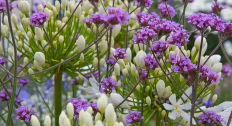 Mix & Match: Walk of Fame - Agapanthus & Verbena