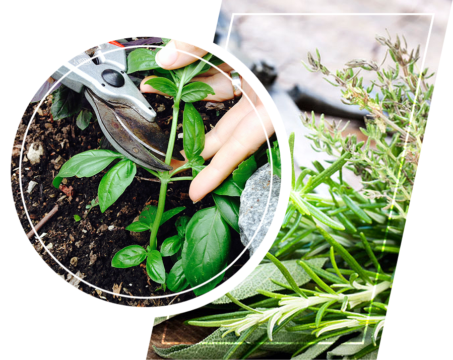 A person harvesting a herb