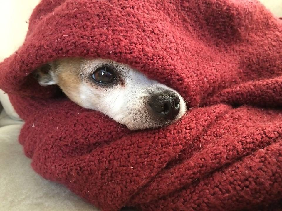 A Chihuahua wrapped in a red blanket. Photo by Ebowalker.