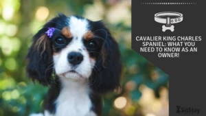 Cavalier King Charles Spaniel: What You Need To Know as an Owner