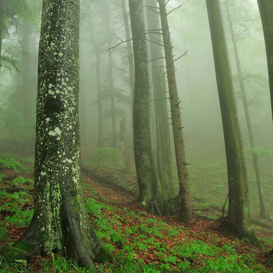 A beech forest shrouded in mist