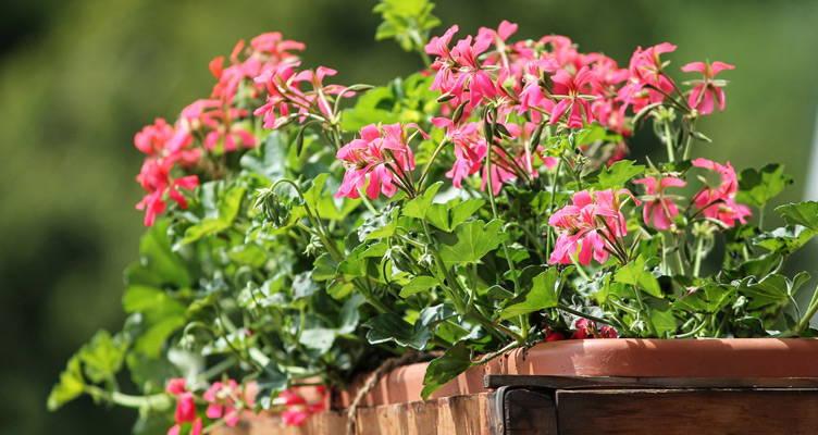 Vaste geraniums