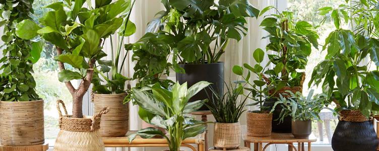 Velká pokojová rostlina oslní v každém prostoru – Bakker.com