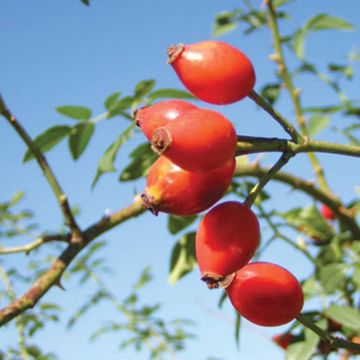 a photograph of wild Rosehip