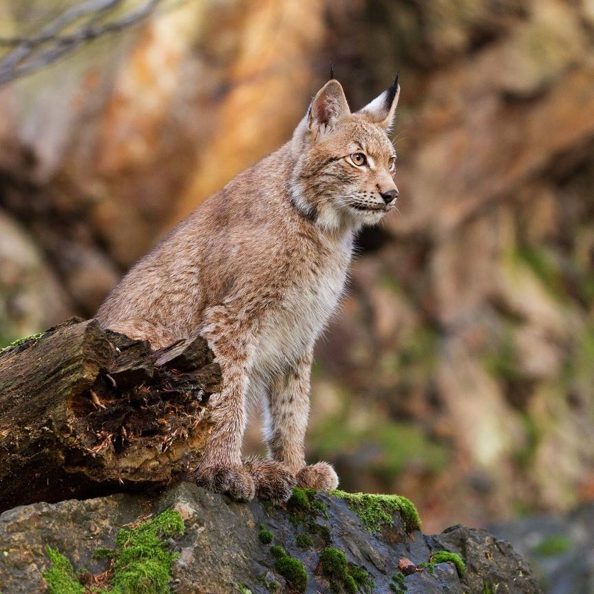 A lynx sitting on a rock