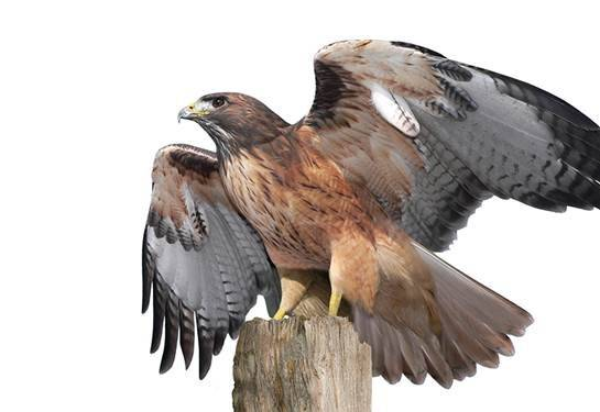 A digital illustration of a red hawk looking up and standing on a tree trunk