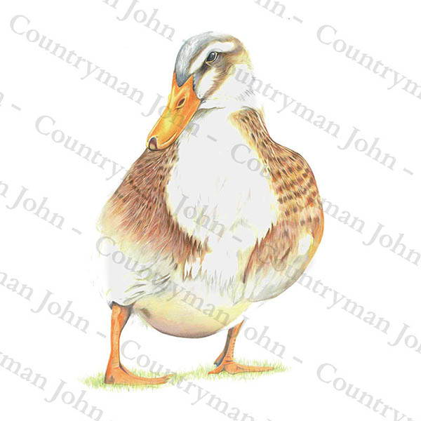 Countryman John Duck Artwork - 703