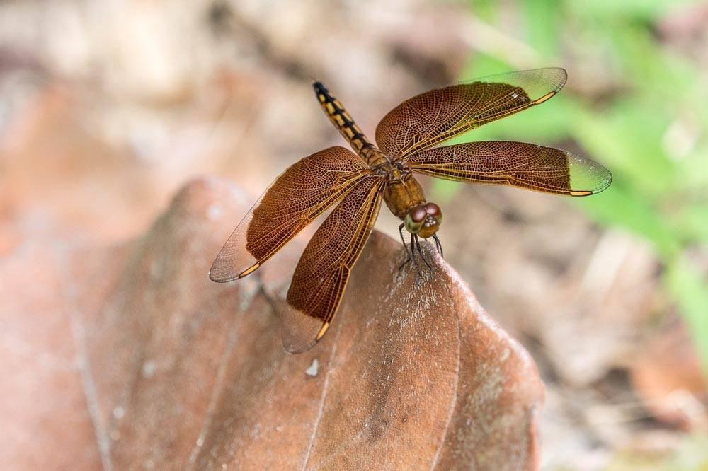 Travelbay Borneo Tours - Customer Reviews - Simon Collard - Kinabatangan River - dragonfly