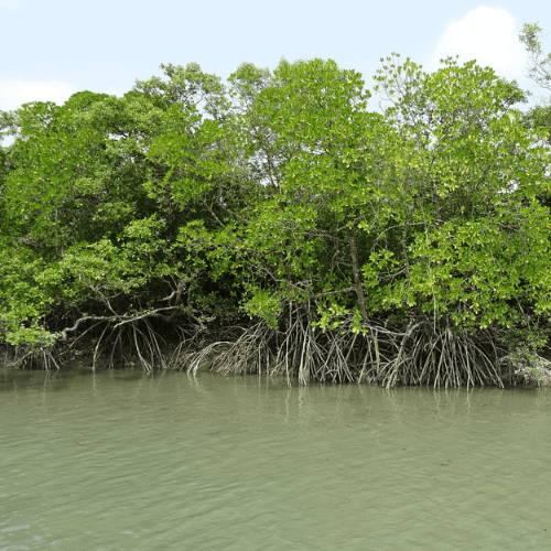 What is a Mangrove Swamp?