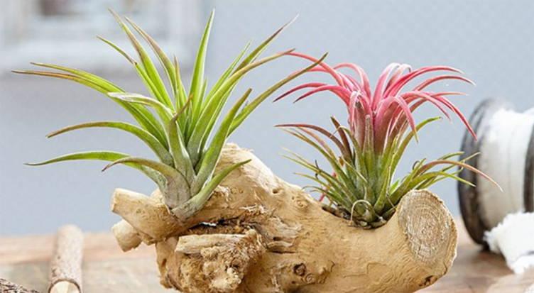 Tillandsia ou 'Fille de l'air' comme plante d'intérieur