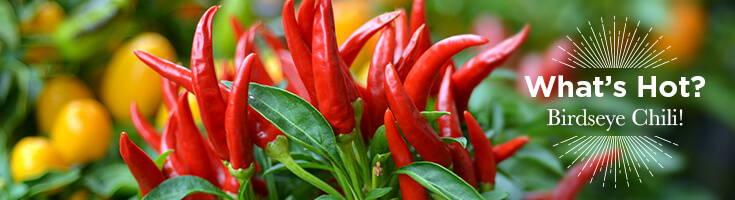 High Quality Organics Express birdseye chili on plant