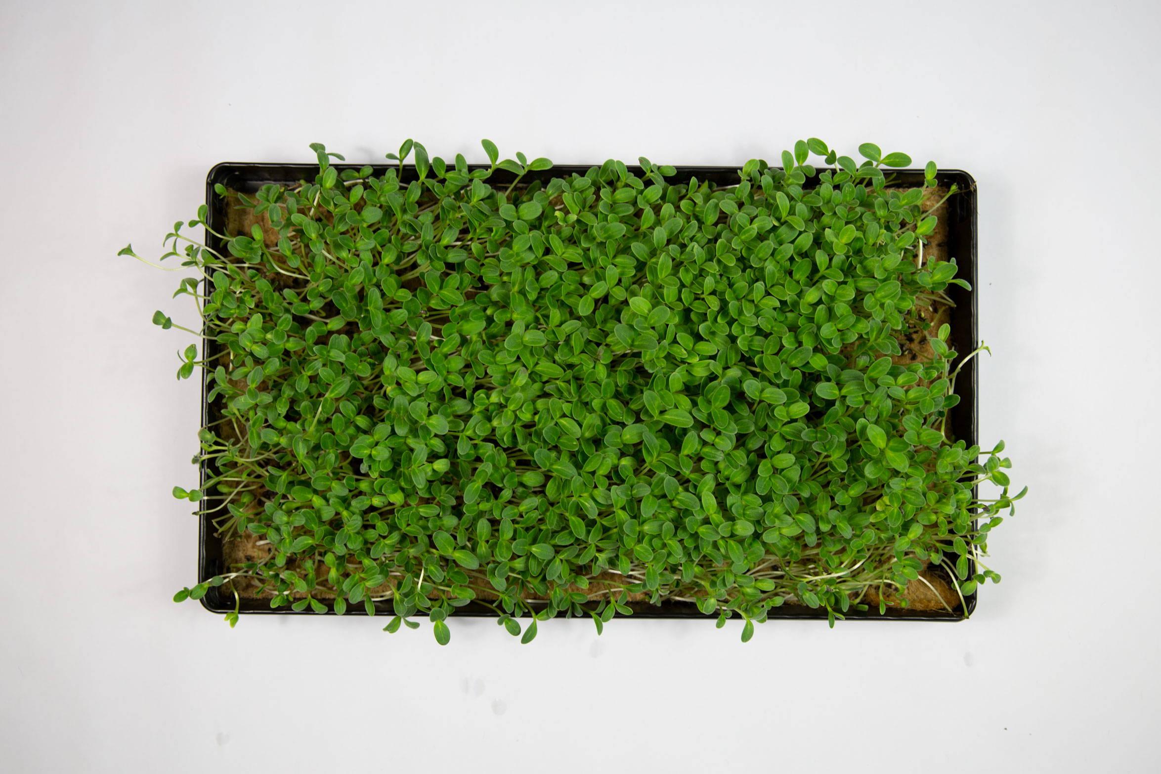 Boretsch Microgreens von der UMAMI Urban Farm