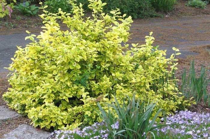 Yellow Shrubs Landscape Options Plantingtree Com