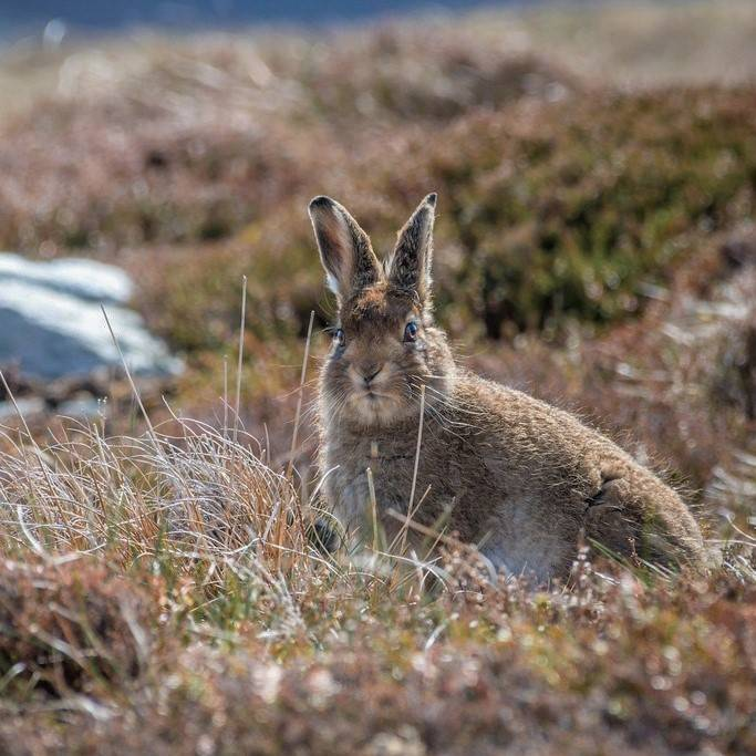A brown mountain hare in the Scottish Highlands during summer time