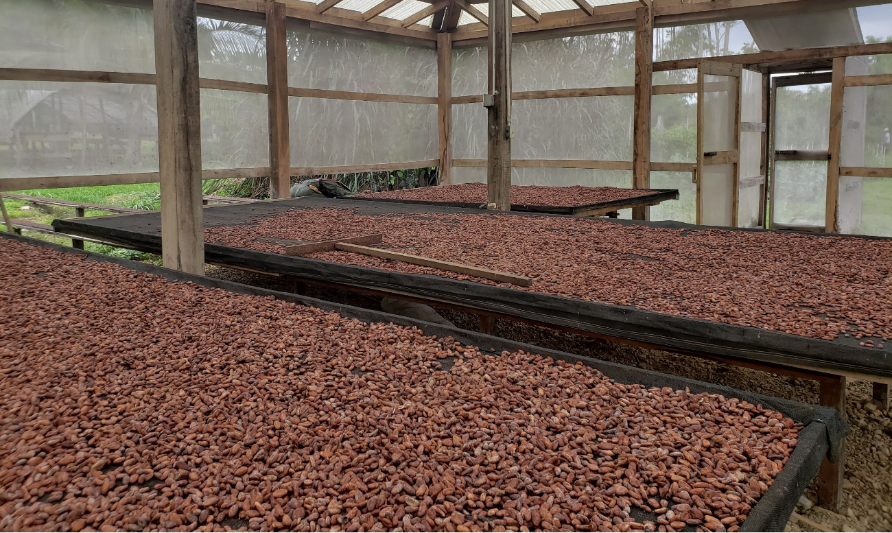 racks of drying raw cocoa beans