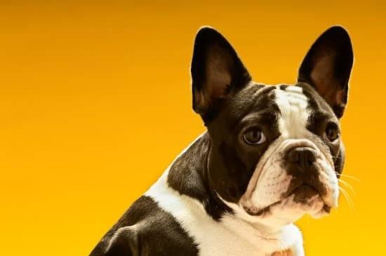 A black and white french bulldog standing in front of a yellow background