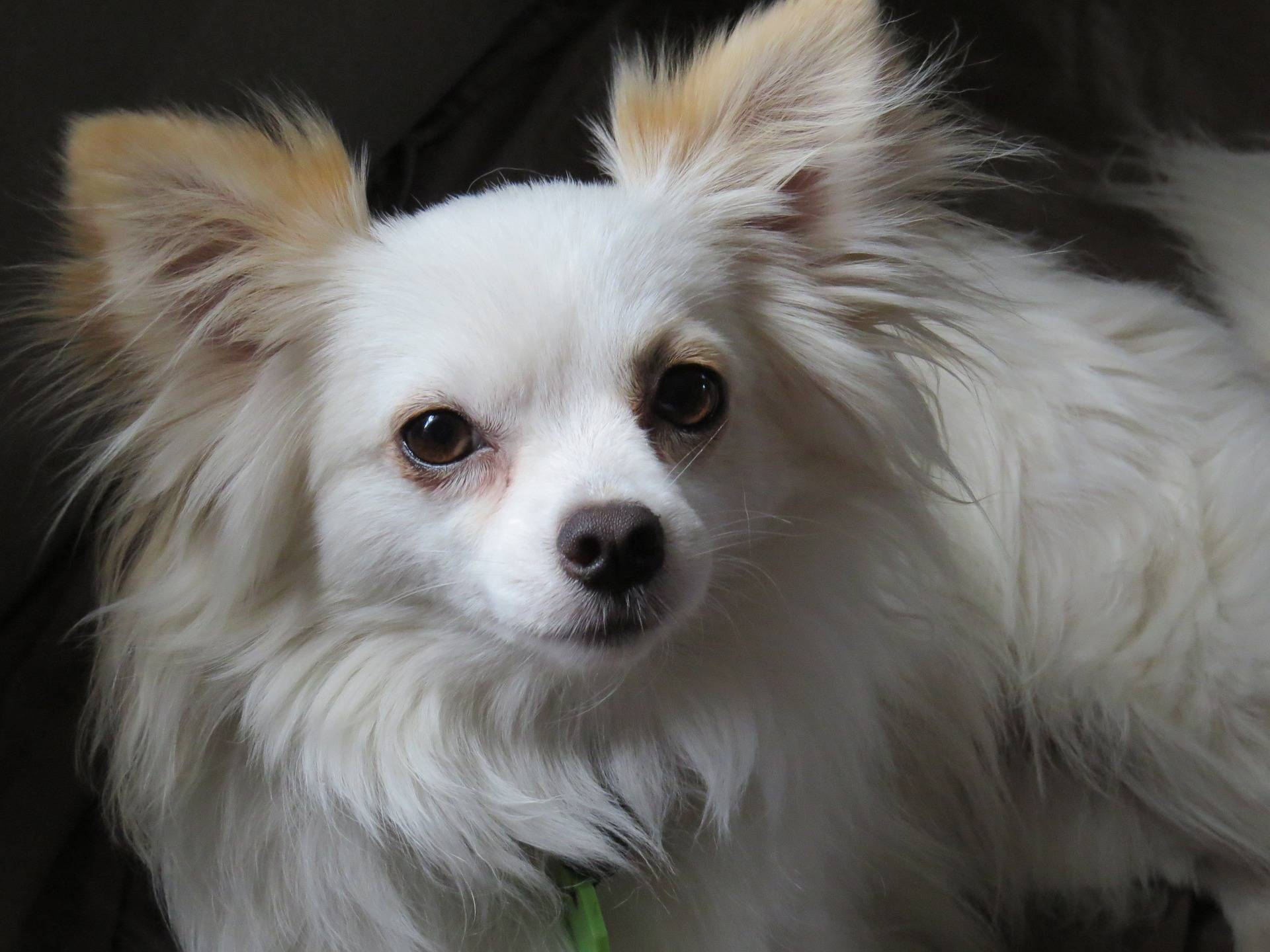 Learn all about Long Haired Chihuahuas