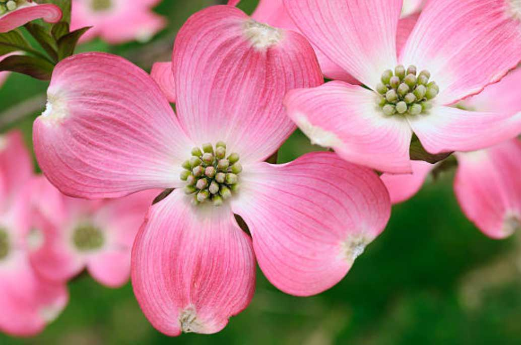 Pink Dogwood Tree for Sale