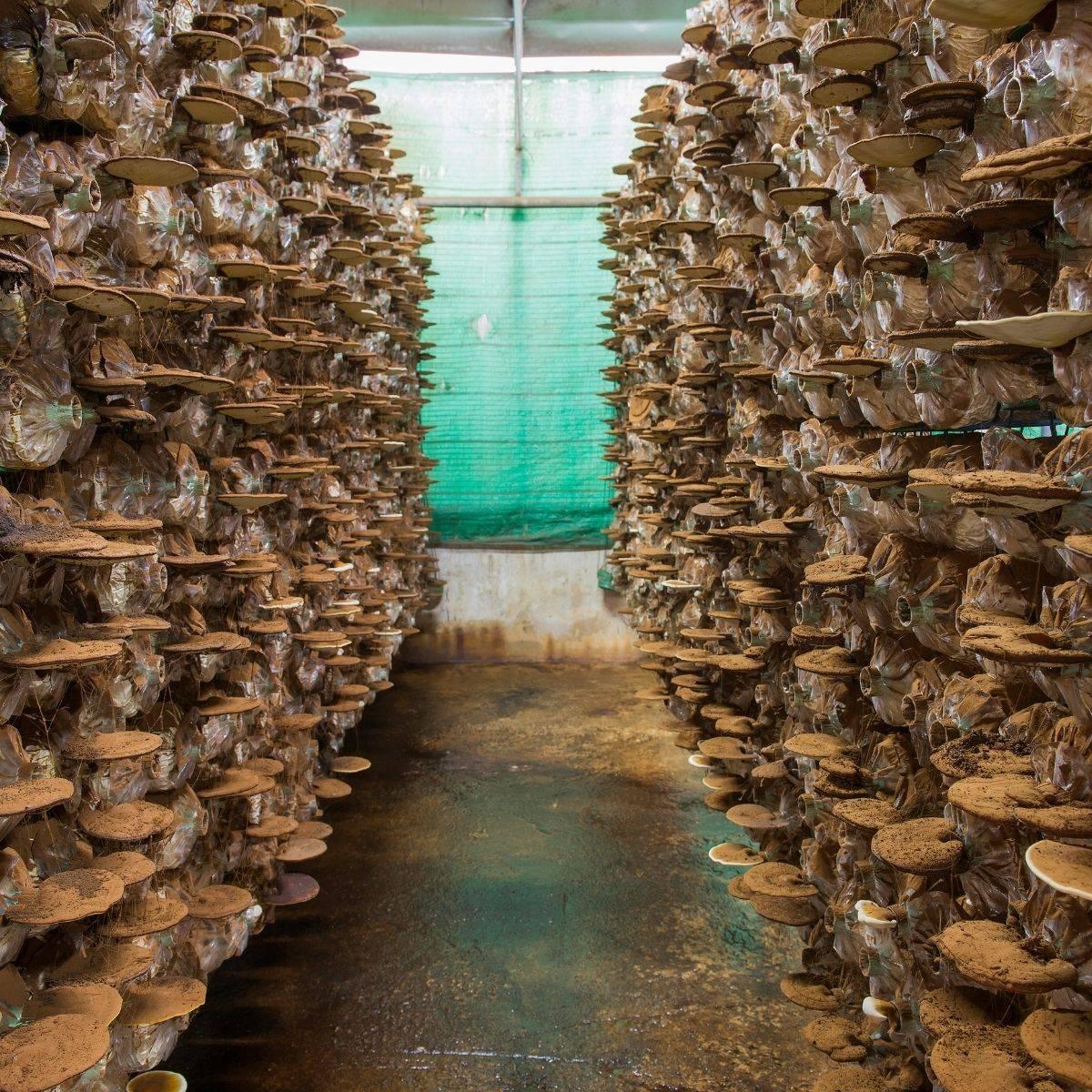 reishi (ganoderma lucidum) medicinal mushroom cultivation