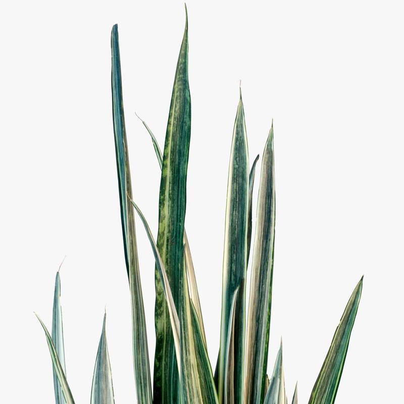 Sansevieria Bantel's Sensation Plant