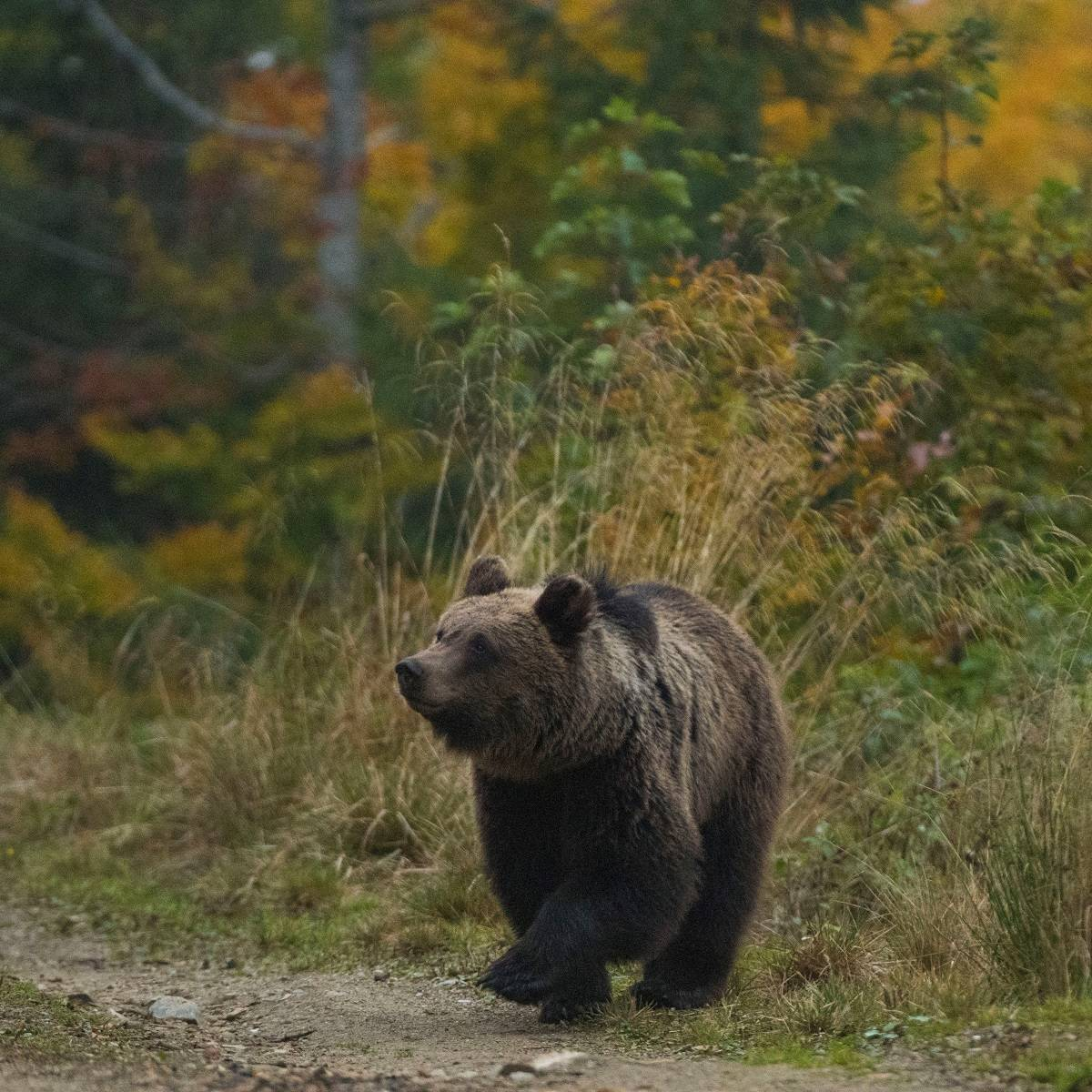 A brown bear strolls across a forest path against a backdrop of green and golden leaves