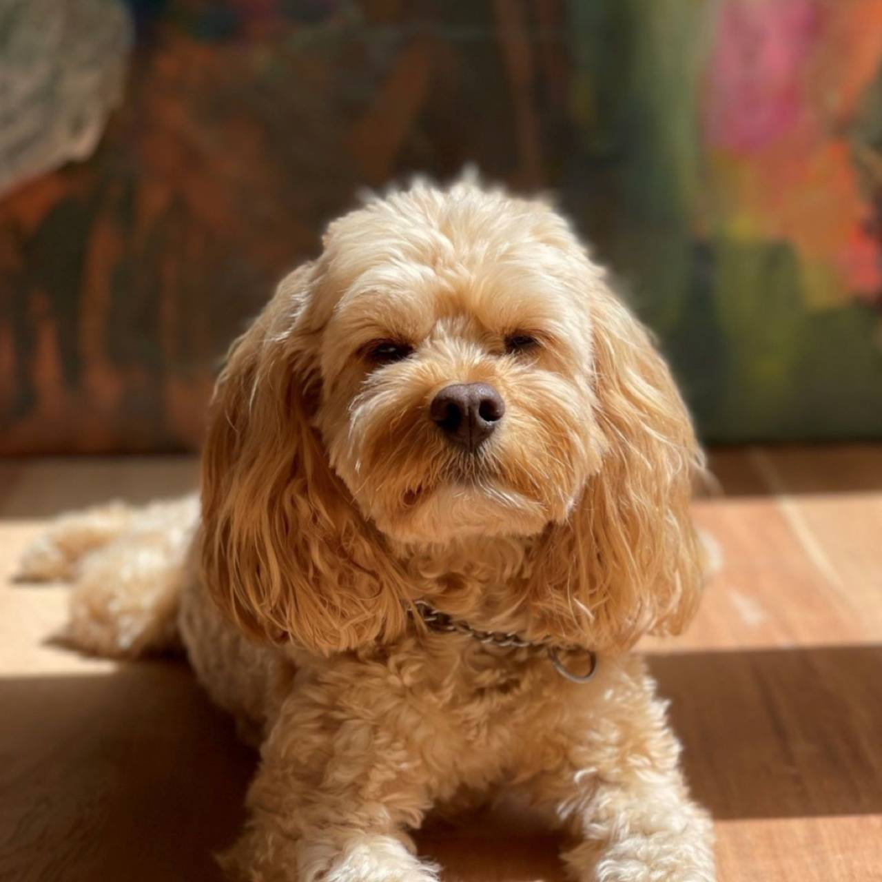 Chewy the Cavoodle