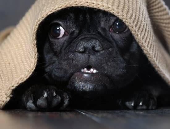 black pug scared under a brown rug