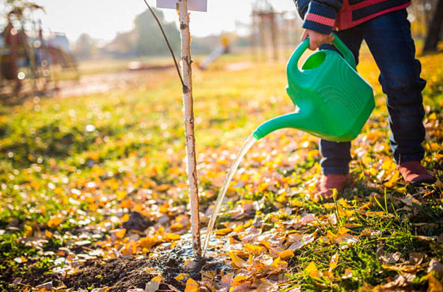 how to plant in fall - watering a young tree