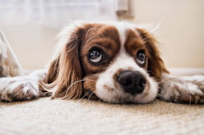 5 Steps To Prevent Your Dog From Begging For Food - Team K9